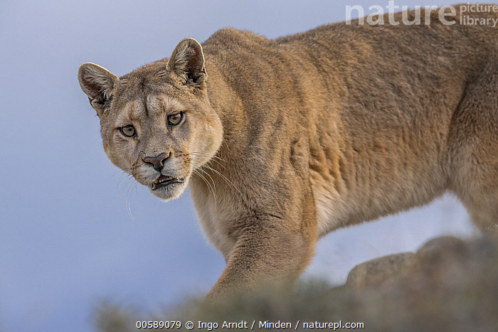 Mountain Lion (Puma concolor) female, Torres del Paine National Park, Patagonia, Chile  ,  Adult, Chile, Color Image, Day, Female, Horizontal, Looking at Camera, Mountain Lion, Nobody, One Animal, Outdoors, Patagonia, Photography, Puma concolor, Side View, Torres Del Paine National Park, Waist Up, Wildlife  ,  Ingo Arndt