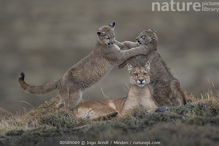 Mountain Lion (Puma concolor) mother and four month old cubs playing, Torres del Paine National Park, Patagonia, Chile. Highly commended in the Animal Portraits Category of the Wildlife Photographer of the Year (WPOY) competition 2019., Adult, Baby, Chile, Color Image, Cub, Day, Family, Female, Full Length, Horizontal, Looking at Camera, Mother, Mountain Lion, Nobody, Outdoors, Parent, Patagonia, Photography, Playing, Puma concolor, Side View, Three Animals, Torres Del Paine National Park, Wildlife,,competition winners 2019,, Ingo Arndt