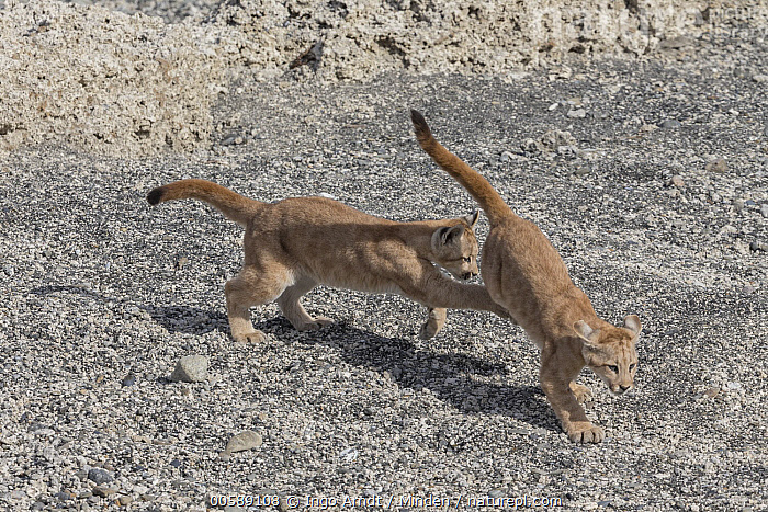 Mountain Lion (Puma concolor) young cubs playing, Torres del Paine National Park, Patagonia, Chile, Baby, Chile, Color Image, Cub, Day, Full Length, High Angle View, Horizontal, Mountain Lion, Nobody, Outdoors, Patagonia, Photography, Playing, Puma concolor, Side View, Torres Del Paine National Park, Two Animals, Wildlife, Ingo Arndt