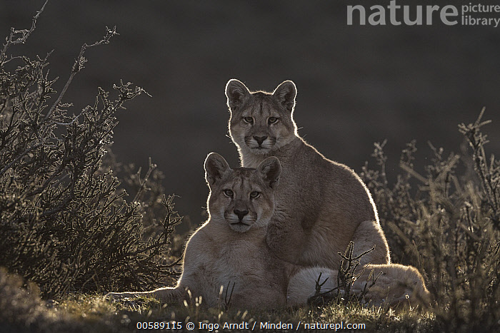 Mountain Lion (Puma concolor) sub-adult sisters, Torres del Paine National Park, Patagonia, Chile  ,  Backlighting, Chile, Color Image, Day, Female, Full Length, Horizontal, Looking at Camera, Moody, Mountain Lion, Nobody, Outdoors, Patagonia, Photography, Puma concolor, Side View, Sister, Sub-Adult, Torres Del Paine National Park, Two Animals, Wildlife  ,  Ingo Arndt
