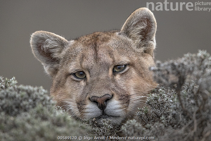 Mountain Lion (Puma concolor), Torres del Paine National Park, Patagonia, Chile  ,  Adult, Chile, Close Up, Color Image, Day, Face, Front View, Head, Horizontal, Looking at Camera, Mountain Lion, Nobody, One Animal, Outdoors, Patagonia, Photography, Portrait, Puma concolor, Torres Del Paine National Park, Wildlife  ,  Ingo Arndt