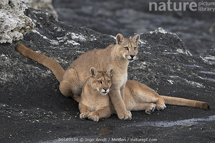 Mountain Lion (Puma concolor) mother and cub, Torres del Paine National Park, Patagonia, Chile, Adult, Baby, Chile, Color Image, Cub, Day, Female, Full Length, Horizontal, Mother, Mountain Lion, Nobody, Outdoors, Parent, Patagonia, Photography, Puma concolor, Side View, Torres Del Paine National Park, Two Animals, Wildlife, Ingo Arndt
