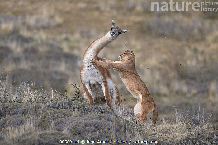 Mountain Lion (Puma concolor) hunting Guanaco (Lama guanicoe) male, Torres del Paine National Park, Patagonia, Chile, sequence 3 of 12. Joint winner of the Mammal Behaviour Category of the Wildlife Photographer of the Year Awards 2019. Winner of the Mammal Category of the GDT European Wildlife Photographer of the Year Awards 2019., Adult, Attacking, Chile, Color Image, Day, Front View, Full Length, Guanaco, Horizontal, Hunting, Lama guanicoe, Male, Mountain Lion, Nobody, Outdoors, Patagonia, Photography, Predating, Predator, Prey, Puma concolor, Sequence, Side View, Torres Del Paine National Park, Two Animals, Wildlife,,Competition Winners 2019,Competition winner,Award,Awards,Winners,,,competition winners 2019,, Ingo Arndt