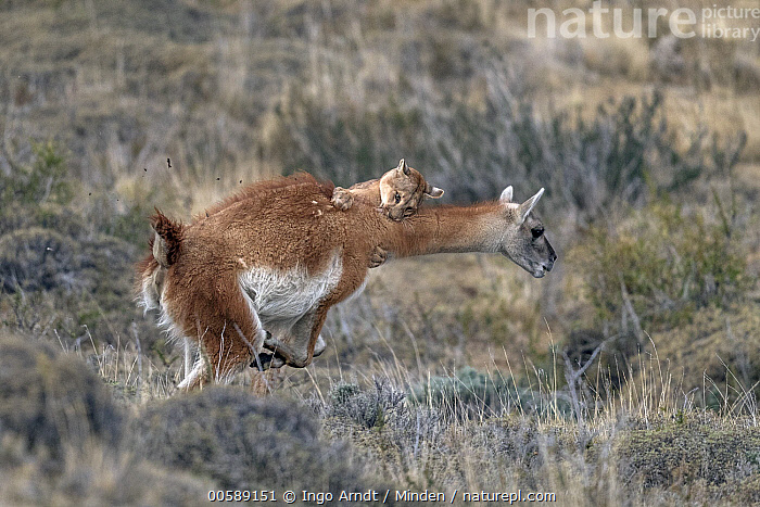 Mountain Lion (Puma concolor) hunting Guanaco (Lama guanicoe) male, Torres del Paine National Park, Patagonia, Chile, sequence 10 of 12, Adult, Attacking, Chile, Color Image, Day, Full Length, Guanaco, Horizontal, Hunting, Lama guanicoe, Male, Mountain Lion, Nobody, Outdoors, Patagonia, Photography, Predating, Predator, Prey, Puma concolor, Sequence, Side View, Torres Del Paine National Park, Two Animals, Wildlife, Ingo Arndt