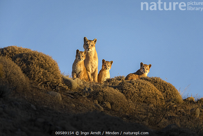 Mountain Lion (Puma concolor) mother and young cubs, Torres del Paine National Park, Patagonia, Chile, Adult, Baby, Chile, Color Image, Cub, Day, Female, Four Animals, Front View, Full Length, Horizontal, Looking at Camera, Mother, Mountain Lion, Nobody, Outdoors, Parent, Patagonia, Photography, Puma concolor, Side View, Torres Del Paine National Park, Wildlife, Ingo Arndt