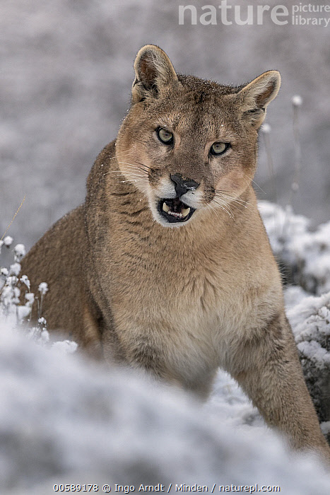 Mountain Lion (Puma concolor) female in snow, Torres del Paine National Park, Patagonia, Chile, Adult, Chile, Color Image, Day, Female, Front View, Looking at Camera, Mountain Lion, Nobody, One Animal, Outdoors, Patagonia, Photography, Puma concolor, Snow, Torres Del Paine National Park, Vertical, Waist Up, Wildlife, Winter, Ingo Arndt
