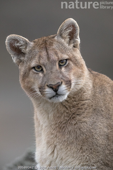 Mountain Lion (Puma concolor), Torres del Paine National Park, Patagonia, Chile, Adult, Chile, Close Up, Color Image, Day, Front View, Head and Shoulders, Looking at Camera, Mountain Lion, Nobody, One Animal, Outdoors, Patagonia, Photography, Portrait, Puma concolor, Torres Del Paine National Park, Vertical, Wildlife, Ingo Arndt