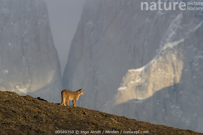 Mountain Lion (Puma concolor), Torres del Paine National Park, Patagonia, Chile, Adult, Animal in Habitat, Chile, Color Image, Day, Full Length, Horizontal, Mountain Lion, Nobody, One Animal, Outdoors, Patagonia, Photography, Puma concolor, Side View, Torres Del Paine National Park, Wildlife, Ingo Arndt