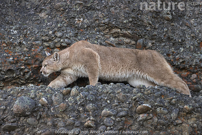 Mountain Lion (Puma concolor), Torres del Paine National Park, Patagonia, Chile, Adult, Chile, Color Image, Day, Full Length, Horizontal, Mountain Lion, Nobody, One Animal, Outdoors, Patagonia, Photography, Puma concolor, Side View, Stalking, Torres Del Paine National Park, Wildlife, Ingo Arndt