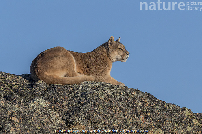 Mountain Lion (Puma concolor) female, Torres del Paine National Park, Patagonia, Chile, Adult, Chile, Color Image, Day, Female, Full Length, Horizontal, Mountain Lion, Nobody, One Animal, Outdoors, Patagonia, Photography, Puma concolor, Side View, Torres Del Paine National Park, Wildlife, Ingo Arndt