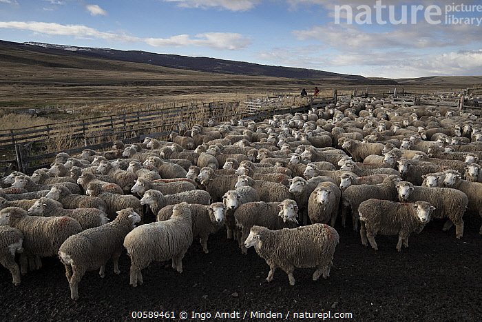 Nature Picture Library - Domestic Sheep (Ovis aries) flock