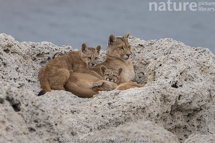 Mountain Lion (Puma concolor) mother and young cubs, Torres del Paine National Park, Patagonia, Chile, Adult, Baby, Chile, Color Image, Cub, Day, Female, Full Length, Horizontal, Mother, Mountain Lion, Nobody, Outdoors, Parent, Patagonia, Photography, Puma concolor, Side View, Three Animals, Torres Del Paine National Park, Wildlife, Ingo Arndt