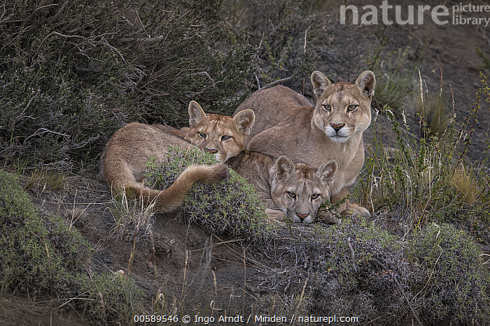 Mountain Lion (Puma concolor) mother and cubs, Torres del Paine National Park, Patagonia, Chile, Adult, Baby, Chile, Color Image, Cub, Day, Female, Full Length, Horizontal, Looking at Camera, Mother, Mountain Lion, Nobody, Outdoors, Parent, Patagonia, Photography, Puma concolor, Side View, Three Animals, Torres Del Paine National Park, Wildlife, Ingo Arndt