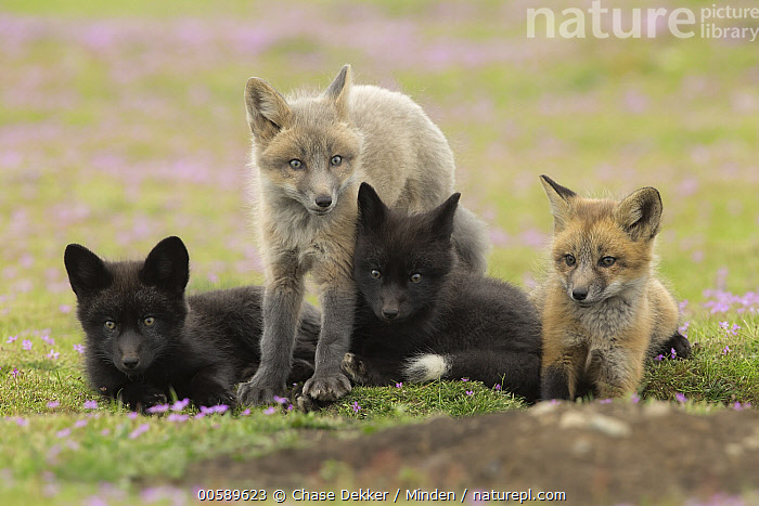 Red Fox (Vulpes vulpes) kits at den, Washington, Baby, Color Image, Cute, Day, Den, Difference, Four Animals, Front View, Full Length, Horizontal, Kit, Nobody, Outdoors, Photography, Pup, Red Fox, Sibling, Side View, Variation, Vulpes vulpes, Washington, Wildlife, Chase Dekker