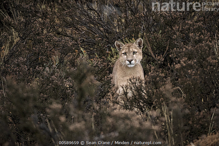 Mountain Lion (Puma concolor) sub-adult, Torres del Paine National Park, Patagonia, Chile  ,  Chile, Color Image, Day, Front View, Full Length, Horizontal, Looking at Camera, Mountain Lion, Nobody, One Animal, Outdoors, Patagonia, Photography, Puma concolor, Sub-Adult, Torres Del Paine National Park, Wildlife  ,  Sean Crane