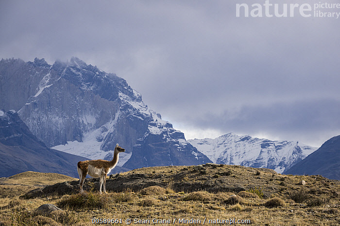 Guanaco (Lama guanicoe) and mountains, Torres del Paine National Park, Patagonia, Chile  ,  Adult, Animal in Landscape, Chile, Color Image, Day, Full Length, Guanaco, Horizontal, Lama guanicoe, Mountain, Mountain Range, Nobody, One Animal, Outdoors, Patagonia, Peak, Photography, Side View, Torres Del Paine National Park, Wildlife  ,  Sean Crane