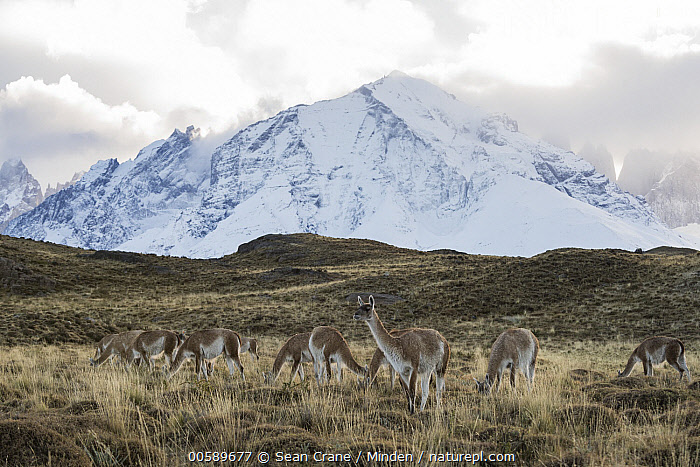 Guanaco (Lama guanicoe) herd and mountains, Torres del Paine National Park, Patagonia, Chile  ,  Adult, Animal in Landscape, Chile, Color Image, Day, Full Length, Guanaco, Herd, Horizontal, Lama guanicoe, Medium Group of Animals, Mountain, Nobody, Outdoors, Patagonia, Peak, Photography, Side View, Snow-covered, Torres Del Paine National Park, Wildlife  ,  Sean Crane