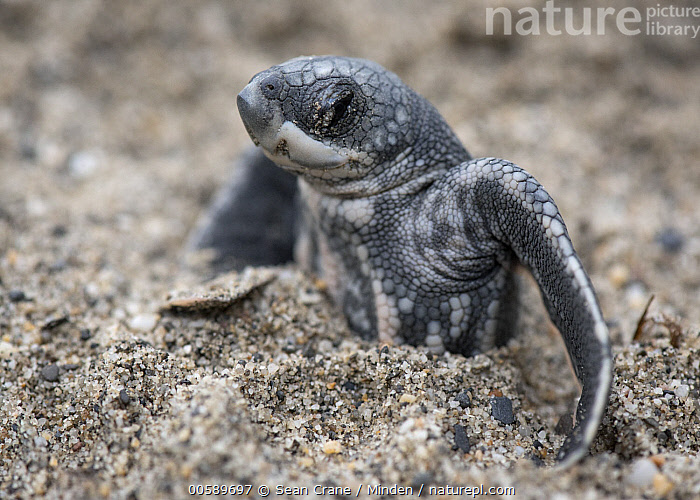 Leatherback Sea Turtle (Dermochelys coriacea) hatchling stuck in sand, Grande Riviere, Trinidad, Caribbean  ,  Baby, Beach, Caribbean, Color Image, Critically Endangered Species, Day, Dermochelys coriacea, Emerging, Endangered Species, Grande Riviere, Hatchling, Horizontal, Leatherback Sea Turtle, Nobody, One Animal, Outdoors, Photography, Side View, Trapped, Trinidad, Waist Up, Wildlife  ,  Sean Crane