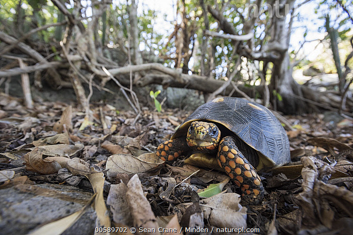 Red-footed Tortoise (Geochelone carbonaria), Saint Barts, Caribbean  ,  Adult, Caribbean, Color Image, Day, Front View, Full Length, Geochelone carbonaria, Horizontal, Looking at Camera, Nobody, One Animal, Outdoors, Photography, Red-footed Tortoise, Saint Barts, Wildlife  ,  Sean Crane
