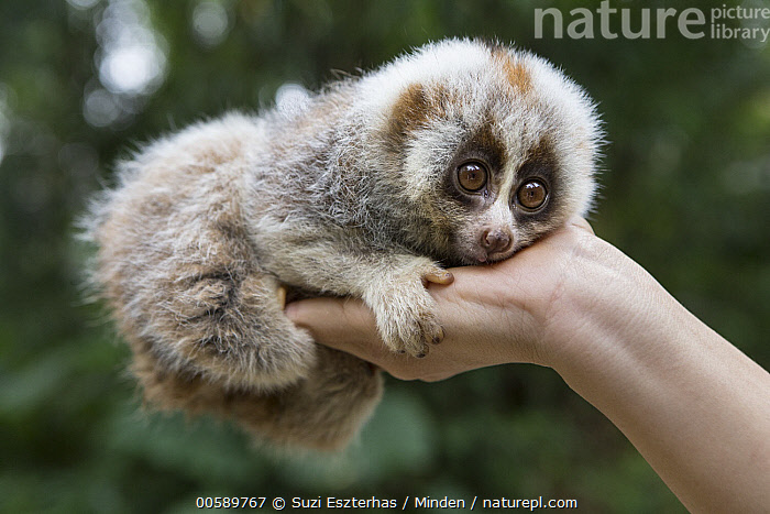 Northern Slow Loris (Nycticebus bengalensis) young from female that was rescued from illegal wildlife trade while pregnant, Endangered Primate Rescue Center, Cuc Phuong National Park, Vietnam, Adult, Baby, Captive, Color Image, Conservation, Cuc Phuong National Park, Cute, Day, Endangered Primate Rescue Center, Full Length, Hand, Holding, Horizontal, Northern Slow Loris, Nycticebus bengalensis, One Animal, One Person, Orphan, Outdoors, Photography, Rehabilitation, Rescuing, Side View, Threatened Species, Vietnam, Vulnerable Species, Wildlife, Young, Suzi Eszterhas