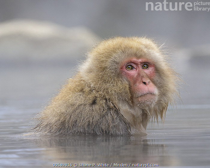 Japanese Macaque (Macaca fuscata) in hot spring, Jigokudani, Nagano, Japan  ,  Adult, Color Image, Day, Head and Shoulders, Horizontal, Hot Spring, Japan, Japanese Macaque, Jigokudani, Looking at Camera, Macaca fuscata, Nagano, Nobody, One Animal, Outdoors, Photography, Portrait, Profile, Side View, Wildlife  ,  Shane P. White