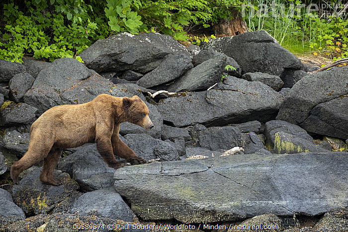 Grizzly Bear (Ursus arctos horribilis), Stephens Passage, Alaska, Adult, Alaska, Color Image, Day, Full Length, Grizzly Bear, Horizontal, Nobody, One Animal, Outdoors, Photography, Side View, Stephens Passage, Ursus arctos horribilis, Wildlife, Paul Souders/ Worldfoto