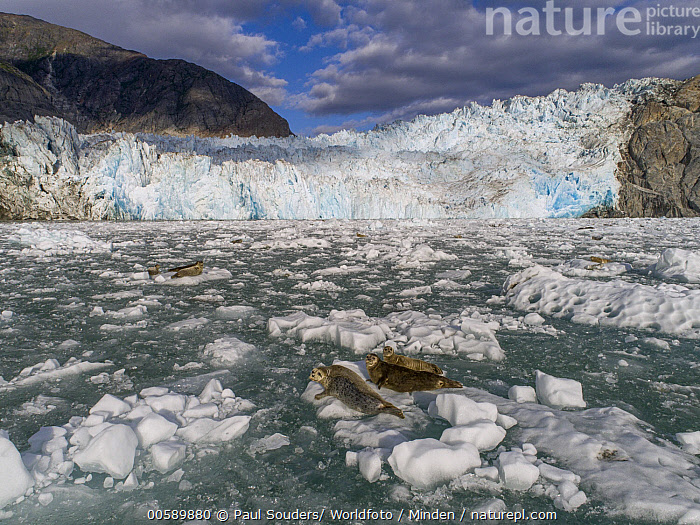 Harbor Seal (Phoca vitulina) groups on ice floes, South Sawyer Glacier, Tracy Arm-Fords Terror Wilderness, Alaska  ,  Adult, Alaska, Animal in Habitat, Animal in Landscape, Color Image, Day, Full Length, Glacier, Harbor Seal, High Angle View, Horizontal, Ice, Ice Floe, Looking at Camera, Marine Mammal, Medium Group of Animals, Nobody, Outdoors, Phoca vitulina, Photography, Rear View, Side View, South Sawyer Glacier, Terminal Moraine, Tracy Arm-Fords Terror Wilderness, Wildlife  ,  Paul Souders/ Worldfoto