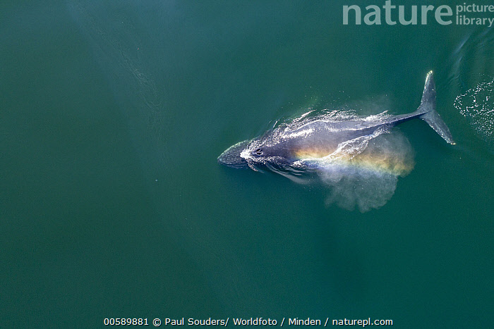 Humpback Whale (Megaptera novaeangliae) surfacing, Frederick Sound, Alaska  ,  Adult, Aerial View, Alaska, Breathing, Color Image, Day, Frederick Sound, Full Length, Horizontal, Humpback Whale, Marine Mammal, Megaptera novaeangliae, Nobody, One Animal, Outdoors, Photography, Rainbow, Spraying, Surface, Surfacing, Top View, Wildlife  ,  Paul Souders/ Worldfoto