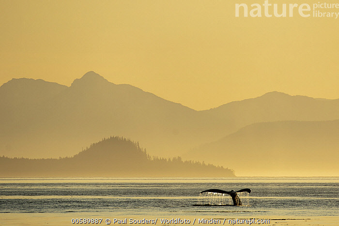 Humpback Whale (Megaptera novaeangliae) diving at sunset, Frederick Sound, Alaska, Adult, Alaska, Animal in Landscape, Close Up, Coast, Color Image, Day, Diving, Fluke, Frederick Sound, Horizontal, Humpback Whale, Marine Mammal, Megaptera novaeangliae, Nobody, One Animal, Outdoors, Photography, Side View, Silhouette, Sunrise, Sunset, Surface, Tail, Wildlife, Paul Souders/ Worldfoto