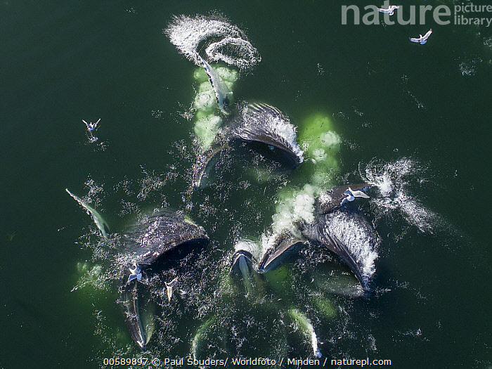Humpback Whale (Megaptera novaeangliae) pod coopertive gulp feeding, Frederick Sound, Alaska, Adult, Aerial View, Alaska, Color Image, Cooperation, Day, Frederick Sound, Full Length, Gulp Feeding, Head and Shoulders, Horizontal, Humpback Whale, Marine Mammal, Medium Group of Animals, Megaptera novaeangliae, Nobody, Open Mouth, Outdoors, Photography, Pod, Predating, Predator, Prey, Side View, Surface, Top View, Wildlife, Paul Souders/ Worldfoto