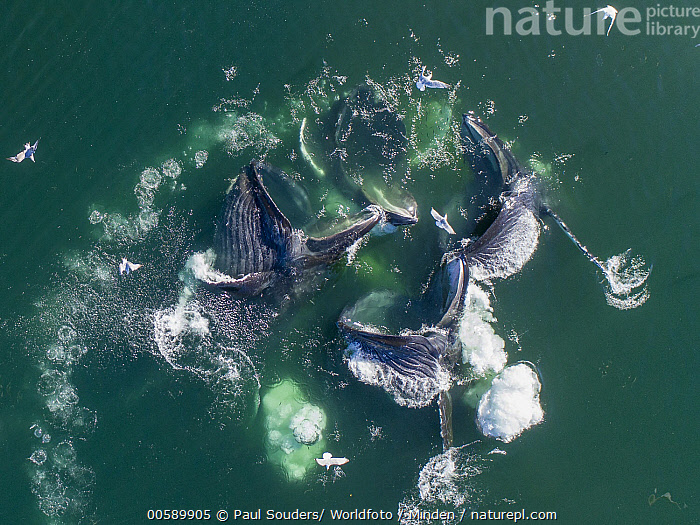 Humpback Whale (Megaptera novaeangliae) pod cooperative bubble-net feeding, Frederick Sound, Alaska, Adult, Aerial View, Alaska, Bubblenetting, Color Image, Cooperation, Day, Frederick Sound, Full Length, Gulp Feeding, Horizontal, Humpback Whale, Marine Mammal, Medium Group of Animals, Megaptera novaeangliae, Nobody, Open Mouth, Outdoors, Photography, Pod, Predating, Predator, Prey, Side View, Surface, Teamwork, Top View, Waist Up, Wildlife, Paul Souders/ Worldfoto