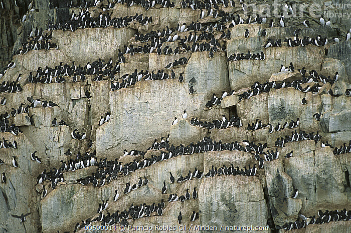 Brunnich's Guillemot (Uria lomvia) breeding colony on cliff face, Spitsbergen, Svalbard, Norway, Arctic, Br?nnich's Guillemot, Brunnich's Guillemot, Color Image, Day, Horizontal, ILCP, Large Group of Animals, Nobody, Norway, Photography, Polar Climate, Rock, Rookery, Seabird, Spitsbergen, Svalbard, Svalbard Archipelago, Thick-billed Murre, Uria lomvia, Wildlife,Brunnich's Guillemot,Norway, Patricio Robles Gil