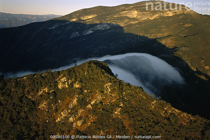 Fog rolling over cloud forest, Altas Cumbres Protected Area, Tamaulipas, Sierra Madre Oriental, northeast Mexico, Aerial View, Altas Cumbres Protected Area, Cloud, Color Image, Day, Fog, Forest Habitat, Horizontal, ILCP, Landscape, Mexico, Mist, Nobody, Photography, Sierra Madre Oriental, Tamaulipas,Mexico, Patricio Robles Gil