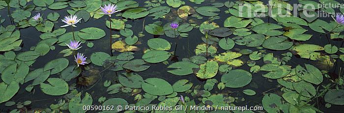 Semi-aquatic communities of Water Lilies in a wetland near the Tamesi River, south Tamaulipas, Mexico, Color Image, Day, Flower, Horizontal, ILCP, Large Group of Objects, Mexico, Nobody, Panorama, Panoramic, Photography, Pond, Tamaulipas, Tamesi River, Water,Mexico, Patricio Robles Gil