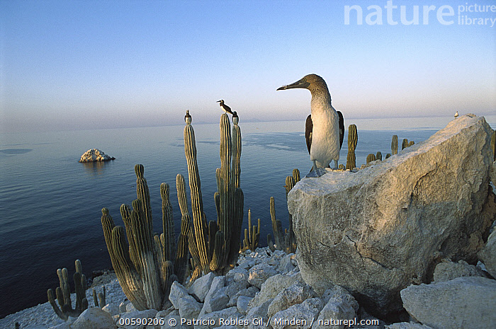 Blue-footed Booby (Sula nebouxii) perched on rocks and cactus on San Pedro Martir Island, Gulf of California, Mexico, Blue-footed Booby, Coast, Coastal, Color Image, Day, Desert, Front View, Full Length, Gulf of California, Horizontal, ILCP, Mexico, Nobody, One Animal, Perching, Photography, Rock, San Pedro Martir Island, Sea of Cortez, Seabird, Sula nebouxii, Wildlife,Blue-footed Booby,Mexico, Patricio Robles Gil
