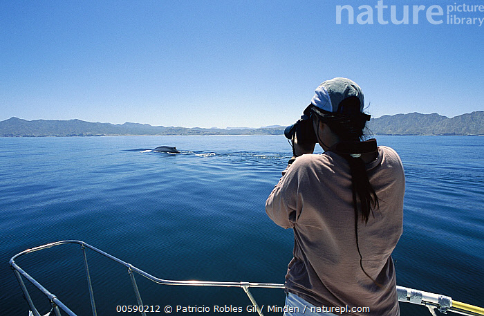 Blue Whale (Balaenoptera musculus) fin and fluke photographed by whale researcher for cataloging, Gulf of California, Mexico, Balaenoptera musculus, Blue Whale, Camera, Color Image, Day, Endangered Species, Gulf of California, Horizontal, ILCP, Marine Mammal, Mexico, One Animal, One Person, Outdoors, Person, Photographing, Photography, Portrait, Rear View, Researching, Scientist, Sea of Cortez, Surface, Surfacing, Three Quarter Length, Tourist, Waist Up, Watching, Whale, Wildlife, Woman,Blue Whale,Mexico, Patricio Robles Gil