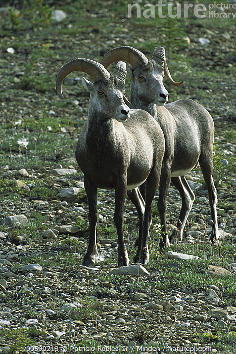 Stone Sheep (Ovis dalli stonei) two alert males, northern Rocky Mountains, Canada, Alert, Canada, Color Image, Dall's Sheep, Day, Front View, Full Length, ILCP, Male, Nobody, Ovis dalli, Ovis dalli stonei, Photography, Rocky Mountains, Stone Sheep, Two Animals, Vertical, Wildlife,Stone Sheep,Canada, Patricio Robles Gil