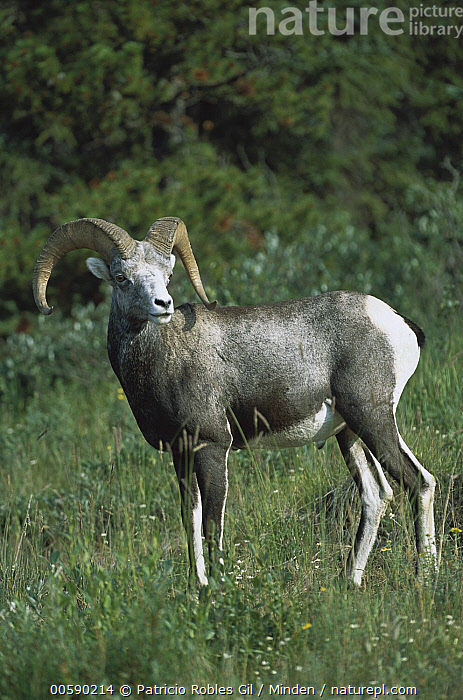 Stone Sheep (Ovis dalli stonei) alert male in northern Rocky Mountain meadow, Canada, Adult, Alert, Canada, Color Image, Dall's Sheep, Day, Full Length, ILCP, Male, Meadow, Nobody, One Animal, Ovis dalli, Ovis dalli stonei, Photography, Rocky Mountains, Side View, Standing, Stone Sheep, Vertical, Wildlife,Stone Sheep,Canada, Patricio Robles Gil