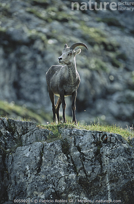Stone Sheep (Ovis dalli stonei) female, northern Rocky Mountains, Canada, Adult, Alert, Canada, Color Image, Dall's Sheep, Day, Female, Front View, Full Length, ILCP, Nobody, One Animal, Ovis dalli, Ovis dalli stonei, Photography, Rock, Rocky Mountains, Standing, Stone Sheep, Vertical, Wildlife,Stone Sheep,Canada, Patricio Robles Gil