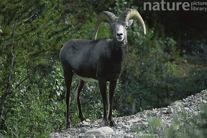 Stone Sheep (Ovis dalli stonei) male, northern Rocky Mountains, Canada, Adult, Canada, Color Image, Dall's Sheep, Day, Front View, Full Length, Horizontal, ILCP, Looking at Camera, Male, Nobody, One Animal, Ovis dalli, Ovis dalli stonei, Photography, Rocky Mountains, Standing, Stone Sheep, Wildlife,Stone Sheep,Canada, Patricio Robles Gil