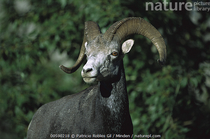 Stone Sheep (Ovis dalli stonei) male, northern Rocky Mountains, Canada, Adult, Canada, Color Image, Dall's Sheep, Day, Front View, Horizontal, ILCP, Male, Nobody, One Animal, Ovis dalli, Ovis dalli stonei, Photography, Portrait, Rocky Mountains, Standing, Stone Sheep, Three Quarter Length, Wildlife,Stone Sheep,Canada, Patricio Robles Gil