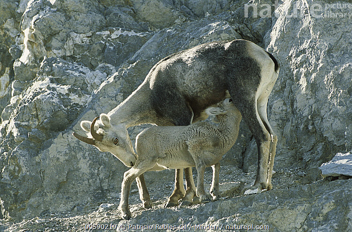 Stone Sheep (Ovis dalli stonei) female nursing her lamb, northern Rocky Mountains, Canada, Adult, Canada, Color Image, Dall's Sheep, Day, Eating, Full Length, Horizontal, ILCP, Lamb, Mother, Nobody, Nursing, Ovis dalli, Ovis dalli stonei, Photography, Rocky Mountains, Side View, Stone Sheep, Two Animals, Wildlife,Stone Sheep,Canada, Patricio Robles Gil