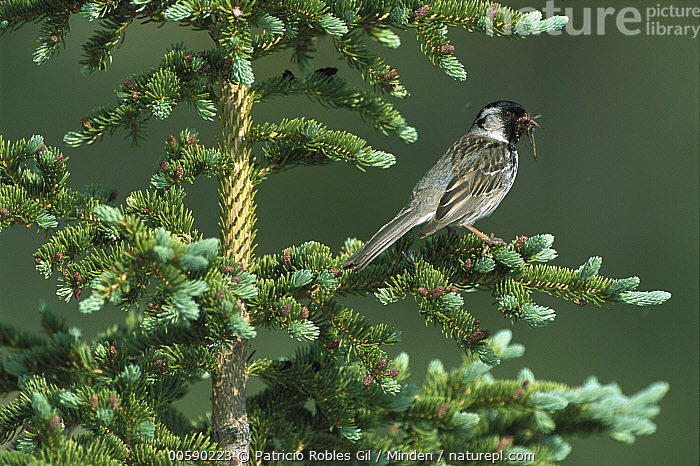 Harris's Sparrow (Zonotrichia querula) perched in a Conifer tree with an insect it has caught, Northwest Territories, Canada, Adult, Canada, Color Image, Day, Full Length, Harris' Sparrow, Harris's Sparrow, Horizontal, ILCP, Insect, Nobody, Northwest Territories, One Animal, Perching, Photography, Predator, Prey, Side View, Songbird, Sparrow, Tree, Wildlife, Zonotrichia querula,Harris's Sparrow,Canada, Patricio Robles Gil