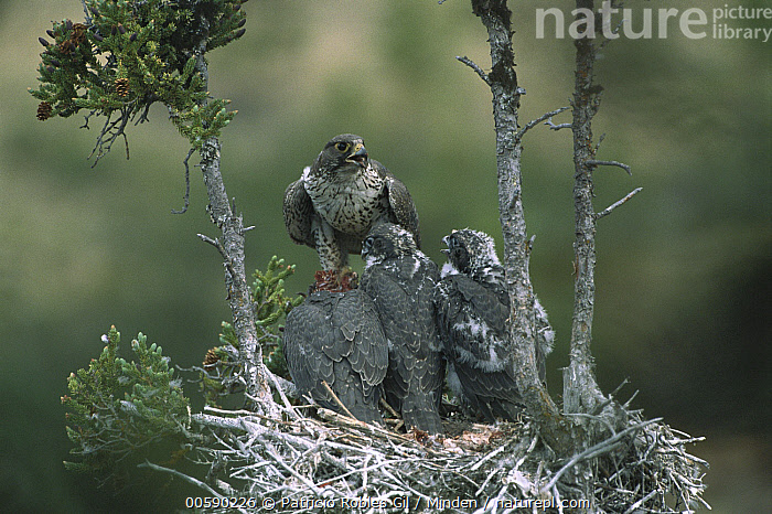 Gyrfalcon (Falco rusticolus) adult in dark phase on nest with chicks, Northwest Territories, Canada, Adult, Canada, Chick, Color Image, Day, Eating, Falco rusticolus, Four Animals, Front View, Full Length, Gyrfalcon, Horizontal, ILCP, Nest, Nobody, Northwest Territories, Parent, Photography, Raptor, Rear View, Wildlife,Gyrfalcon,Canada, Patricio Robles Gil