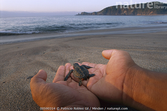Olive Ridley Sea Turtle (Lepidochelys olivacea) hatchling being released, Pacific Ocean, Oaxaca, Mexico, Beach, Beginning, Close Up, Color Image, Conservation, Day, Full Length, Grabbing, Hand, Hatchling, Helping, Horizon, Horizontal, ILCP, Lepidochelys olivacea, Male, Mexico, Oaxaca, Olive Ridley Sea Turtle, Olive Ridley Turtle, One Animal, One Person, Photography, Rear View, Releasing, Sea Turtle, Threatened Species, Turtle, Vulnerable Species, Wildlife,Olive Ridley Sea Turtle,Mexico, Patricio Robles Gil