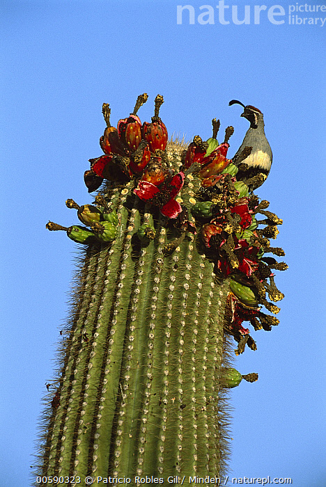 Gambel's Quail (Callipepla gambelii) adult perched atop a blooming cactus, El Pinacate/Gran Desierto de Altar Biosphere Reserve, Sonora, Mexico, Adult, Blooming, Callipepla gambelii, Color Image, Day, Desert, Flower, Front View, Gambel's Quail, Game Bird, Gamebird, ILCP, Low Angle View, Mexico, Nobody, One Animal, One Object, Perching, Photography, Portrait, Sonora, Three Quarter Length, Vertical, Wildlife,Gambel's Quail,Mexico, Patricio Robles Gil