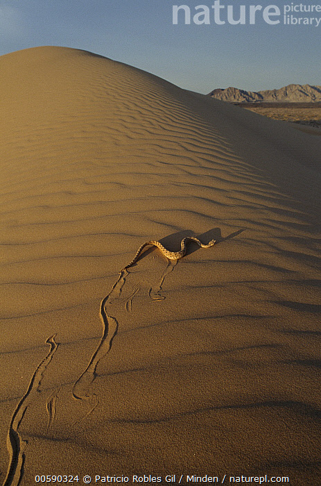 Sidewinder (Crotalus cerastes) rattlesnake moving across sand dunes, El Pinacate/Gran Desierto de Altar Biosphere Reserve, Sonora, Mexico  ,  Adult, Color Image, Crotalus cerastes, Day, Desert, Dune, El Pinacate, Full Length, Gran Desierto de Altar Biosphere Reserve, ILCP, Locomoting, Mexico, Moving, Nobody, One Animal, Photography, Rattlesnake, Rear View, Sidewinder, Sonora, Track, Venomous, Vertical, Wildlife,Sidewinder,Mexico  ,  Patricio Robles Gil