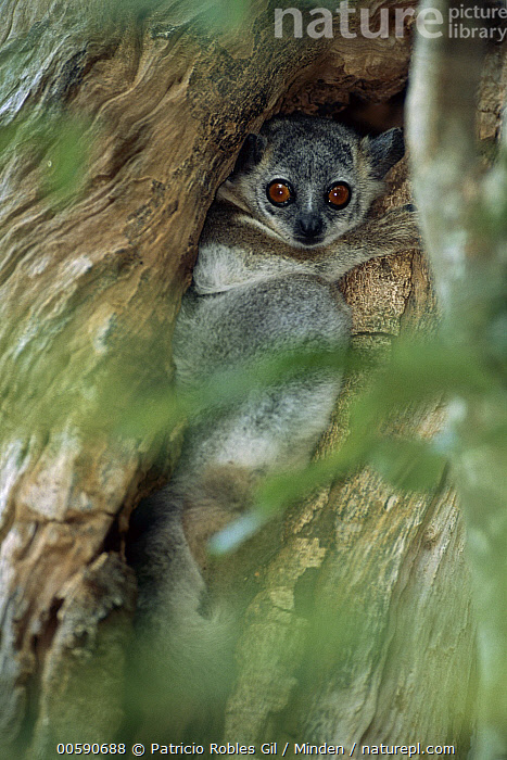 White-footed Sportive Lemur (Lepilemur leucopus) in tree crevice, Madagascar, Adult, Color Image, Day, Full Length, ILCP, Lepilemur leucopus, Looking at Camera, Madagascar, Nobody, One Animal, Outdoors, Photography, Side View, Vertical, White-footed Sportive Lemur, Wildlife,White-footed Sportive Lemur,Madagascar, Patricio Robles Gil