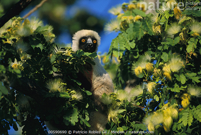 Coquerel's Sifaka (Propithecus coquereli) in western deciduous forest, Madagascar, Adult, Color Image, Coquerel's Sifaka, Day, Deciduous, Endangered Species, Forest Habitat, Front View, Head and Shoulders, Horizontal, ILCP, Looking at Camera, Low Angle View, Madagascar, Nobody, One Animal, Outdoors, Photography, Propithecus coquereli, Wildlife,Coquerel's Sifaka,Madagascar, Patricio Robles Gil