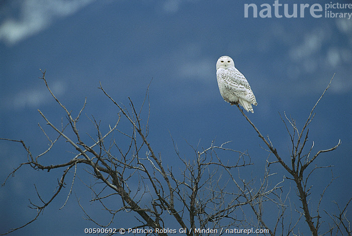 Snowy Owl (Nyctea scandiaca) perching in tree, North America, Adult, Color Image, Day, Full Length, Horizontal, ILCP, Looking at Camera, Nobody, North America, One Animal, Outdoors, Owl, Photography, Raptor, Side View, Snowy Owl, Wildlife,Snowy Owl,North America, Patricio Robles Gil